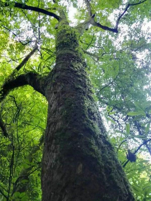 宜昌夷陵区中亚楠木林景区亚洲面积最大的野生楠木林