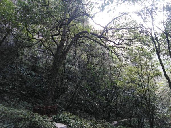 宜昌中亚楠木林风景区楠木王