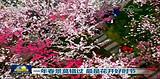 追梦中国相约三大,宜昌三峡大学桃花美景登录央视