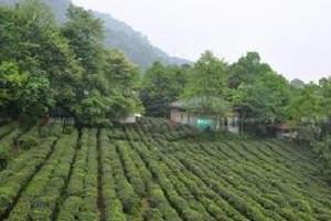 蒙顶山、采茶制茶一日游_成都到蒙顶山旅游_成都一日游景点有哪