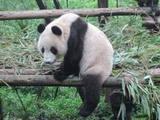 都江堰+熊猫基地一日游
