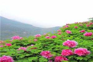 长寿菩提山、菩提古镇、垫江牡丹樱花世界一日游