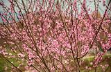 垫江牡丹樱花世界、美心小镇一日游