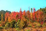20年:德保红叶森林公园,田州古城一日游