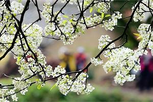 钦州板城赏梨花一日游