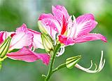 柳州浪漫紫荆花,龙潭公园,宜州刘三姐故里,怀远古镇休闲二日游