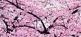 贵州平坝万亩樱花、凯里下司古镇纯玩三日游