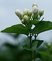 横县茉莉花之乡,中华茉莉花园,大圣金枣果园采摘一日游
