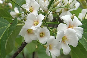 武鸣罗坡潭、最美油桐花休闲一日游