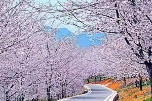 南寧出發貴州平壩萬畝櫻花、天龍屯堡純玩純攝影三日游