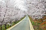 南宁出发贵州平坝万亩樱花、青岩古镇纯玩纯摄影三日
