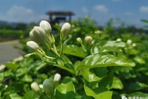 横县中华茉莉花园、六景青西朗泉水生态园泡水一日游
