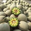 海南玫珑瓜,2-4个瓜,重7.3-7.5斤 55元包邮