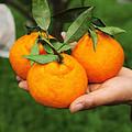 四川不知火丑橘 现货新鲜采摘,汁水充足,丑柑套袋