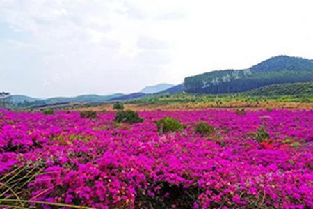 上林大龙湖游船,三角梅产业园,油菜花海纯玩一日游
