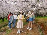 貴州青巖古鎮、平壩櫻花、黃蠟櫻花、音寨金海雪山純攝影四日