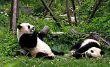 <成都到三星堆、熊猫基地1日游>与国宝大熊猫亲密接触