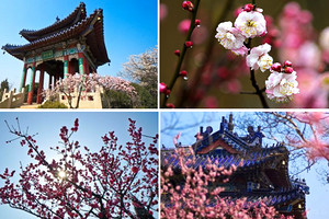 【寻香探梅】南京梅花山国际梅花节+香雪海梅花+西塘古镇三日