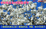 【青海观鸟赏花之旅】青海路鸟岛、贵德梨花节、塔尔寺双卧六日游