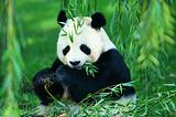 【蜀山一号】 成都、峨眉山、乐山、都江堰、熊猫基地双飞5日游