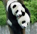 【成都一号】成都三星堆+熊猫基地、都江堰、青城山双飞5日游