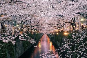 日本本州樱花双赏6日游