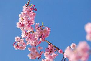 青岛旅行社_大珠山海底隧道跨海大桥一日游_赏花时节 踏春好时