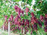采摘一日游_平度大泽山、葡萄采摘一日游_秋高气爽吃葡萄