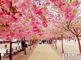 青岛去日本看樱花_青岛去日本本州全景赏樱美食双飞6日游