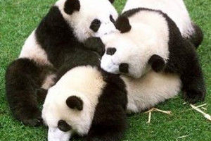 青岛到九寨沟旅游团_成都、九寨沟、熊猫基地6日游_熊猫游系列