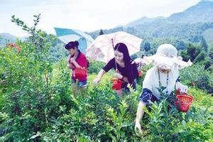 青岛蓝莓采摘旅游团_即墨蓝莓采摘园、鹤山一日游_欢乐采摘行