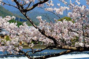 【日本】本州品美食-泡温泉-赏芝樱六天浪漫之旅