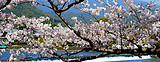 日本北海道游哪家好?日本北海道赏花温泉五天游 全程四星