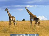 肯尼亚旅游攻略 肯尼亚、坦桑尼亚、桑几巴尔海岛十二天游
