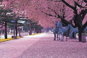 日本本州6天赏樱之旅_广州香港往返