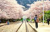 【樱花の恋】韩国首尔+济州5天三飞品质游_不走回头路