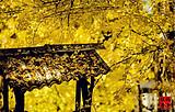 宜宾直飞昆明【悦享纯玩-昆明芒市瑞丽腾冲纯玩7日游】赏银杏