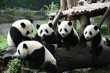 青岛飞成都大概多长时间  青岛到成都熊猫基地 峨眉山双飞6日