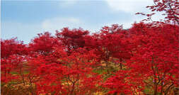 巴南 春天里的红叶—五洲园红枫一日游