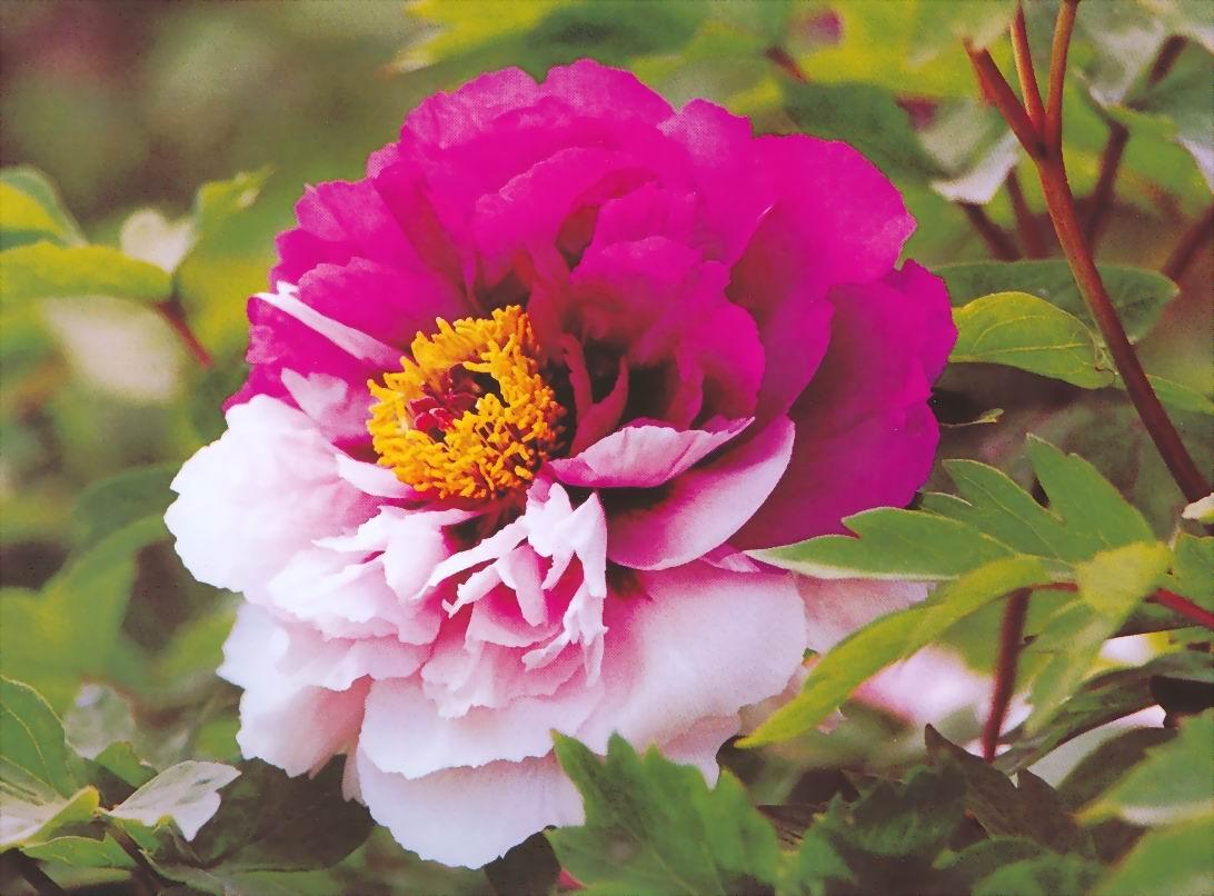 4月4日牡丹花情:洛阳市区牡丹陆续开 假日不妨赏花去