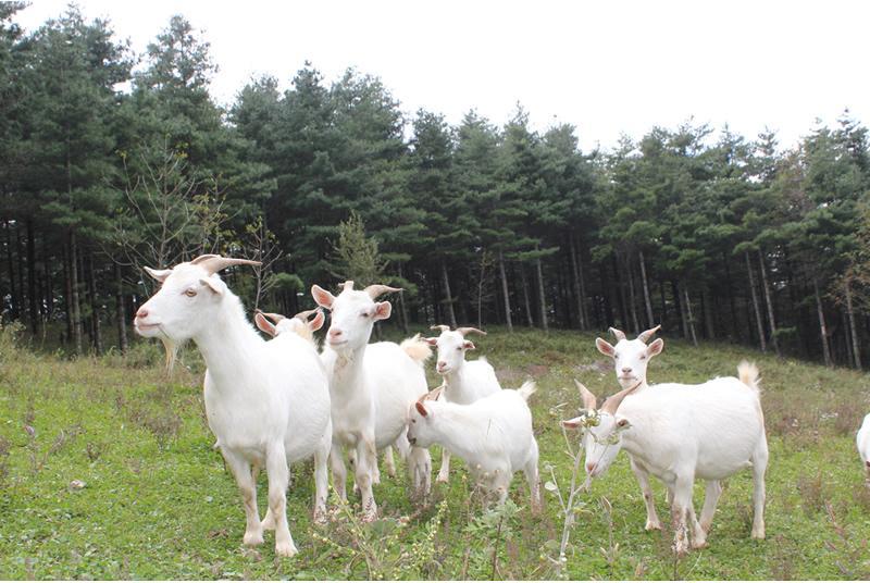 武隆板角山羊,重庆旅行社