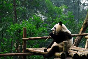 四川无自费推荐【9月熊猫传奇】成都峨眉山乐山+都江堰5日