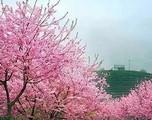 【春节】厦门到永福樱花品全鱼宴特色美食汽车一日游-厦门国旅