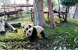 【暑假】厦门到成都熊猫基地+宽窄巷子+都江堰5天-厦门国旅