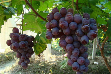 金穗生态园观光,葡萄采摘一日游