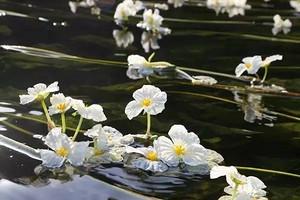 都安澄江河海菜花,石头开花景区纯玩一日游
