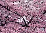 三天皇牌线:云门寺祈福、樱花公园、入住全新白金——大森林温泉
