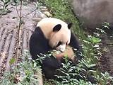 【熊猫之旅】成都大熊猫基地品茶川剧4日游