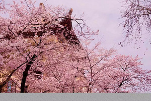 武汉樱花+东湖景区+户部巷纯玩美食两日游