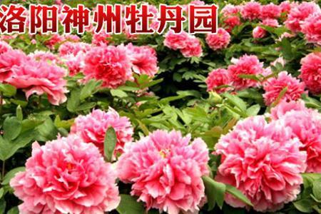 郑州到洛阳神州牡丹一日游